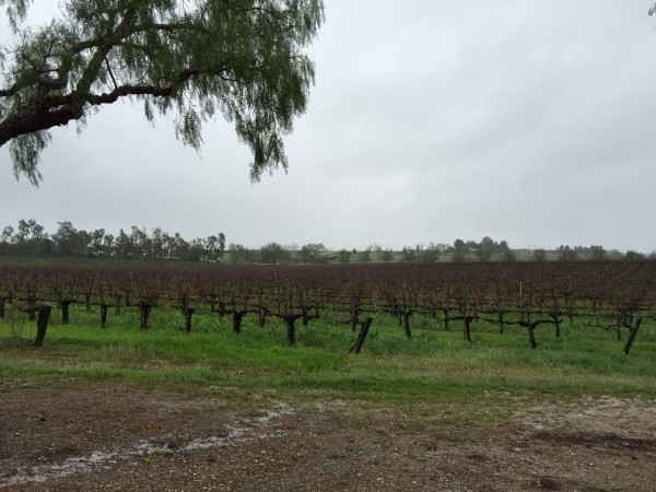 Beautiful Gainey Vineyard-- even on a rainy day